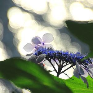 三ッ池公園で紫陽花を・順光編・・・横浜市鶴見区♪