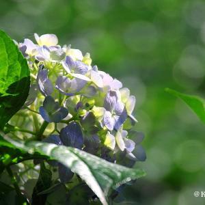 三ッ池公園で紫陽花を・逆光編・・・横浜市鶴見区♪