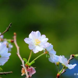 桜咲く公園・・・相模原市南区♪