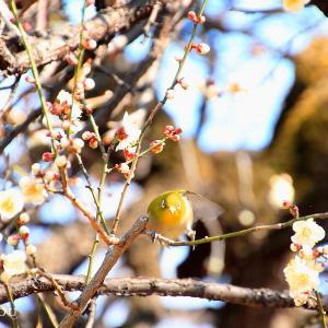宝幢寺の枝垂れ梅は3分咲きだけど・・・志木市♪