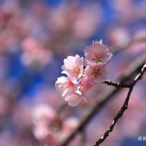 薄桃色の安行桜・・・坂戸市♪