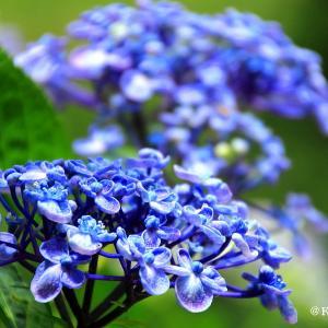紫陽花からユリへ・・・川越市♪