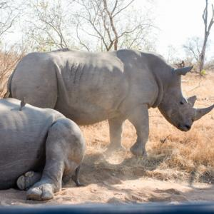 Kruger-2, South Africa 〜サイの威嚇にビビる!クルーガー国立公園のサファリ~