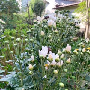 第2,731回(2020.7.22)庭の菊が開花!