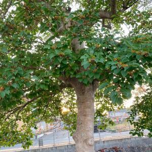 第2,813回(2020.10.12)アクラの木の思い出