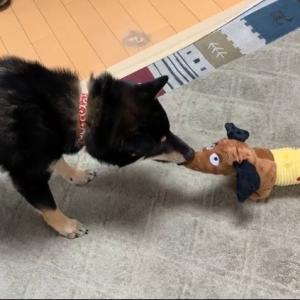 第3,097回(2021.7.23)柴犬の幸平に待望の新たなおもちゃが!!