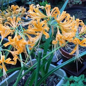 第3,151回(2021.9.15)黄色の彼岸花が満開、庭を美しく彩る!