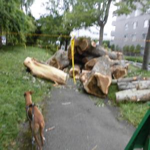 遊歩道は木の伐採中