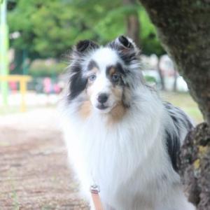 元保護犬のシェルティちゃんに出会う。