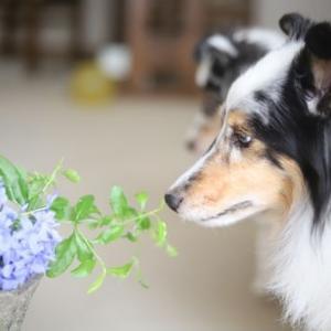 コリー&シェルティはマニアックな犬種だった