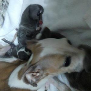 イタグレのカカの出産