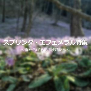 春の妖精 -スプリング・エフェメラル-