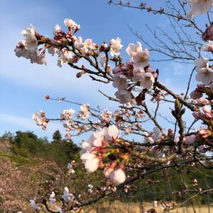 桜に癒される