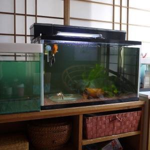 金魚の外飼育準備