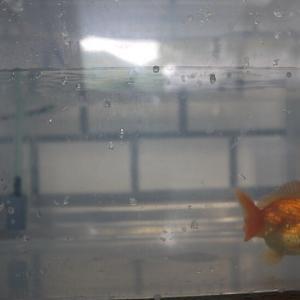 病気持ちの金魚を連れて帰った。