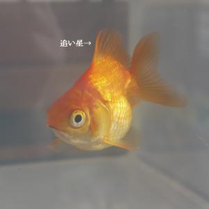 病気の金魚をお持ち帰りしたその後。