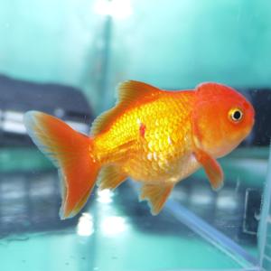 金魚の穴あき病