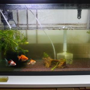 失神(自分) と 最近の金魚水槽