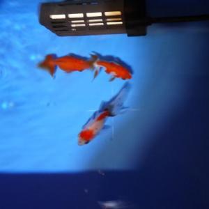 金魚の白点病治療経過(備忘録)