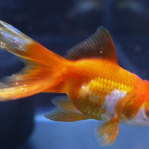 金魚の白点病治療・経過