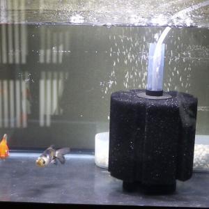 室内でのガラス水槽金魚飼育に再トライ