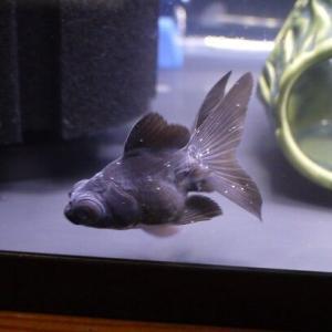 お迎えした金魚が白点病に・・・