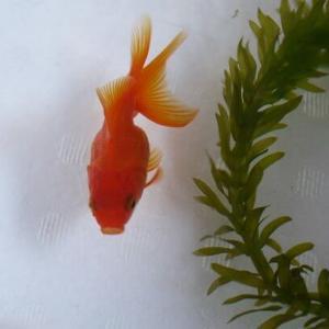 今年初お迎えした金魚は・・・