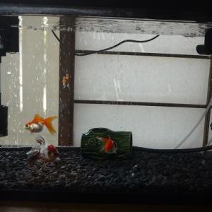 東錦のアズちゃんを60㎝水槽に合流