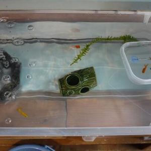 チビ金魚5匹を合流