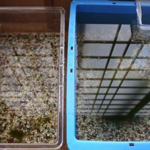 ミナミヌマエビの水槽替え&水替え と マサチューセッツ