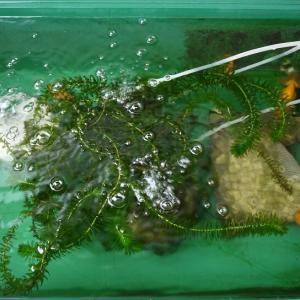 飼育が難しいと言われている3品種の金魚近況