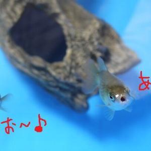 ハモる金魚 と 黒い濃い人