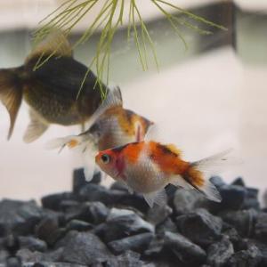 また金魚が増えた;;