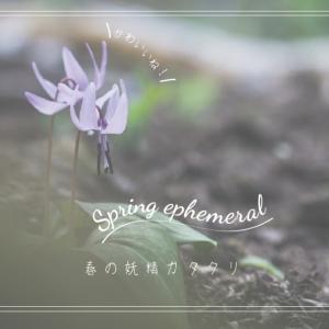 【春の妖精カタクリ】スプリング・エフェメラルに会いに行こう