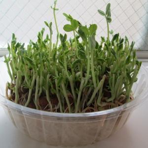 一度買えば二度美味しい豆苗栽培の観察