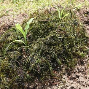 家庭菜園 水草マルチ実験