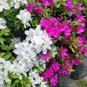 ツツジの花と栄光冨士の純米酒 暁乃翼(アカツキノツバサ)に春を感じて