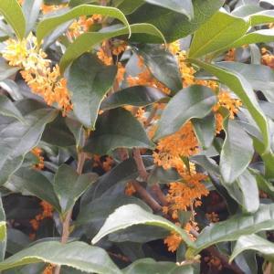 キンモクセイ 一枝の花が満開