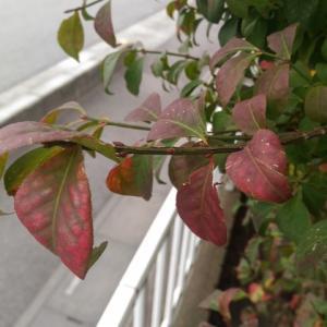 ニシキギ 紅葉進む