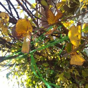 トサミズキ 一枝の葉が黄葉