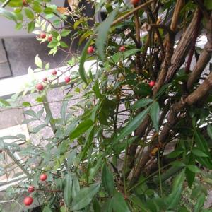 ナンテン 木全体の実が熟す