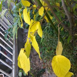 シラキ 一枝の葉が黄葉