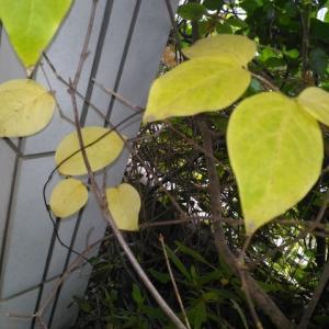 ロウバイ 一枝の葉が黄葉