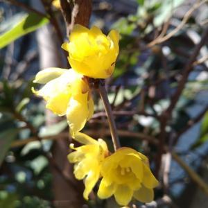 ロウバイ 一枝の花が満開に