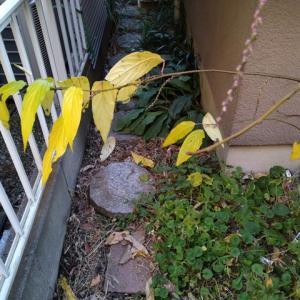 キブシの黄葉と花芽