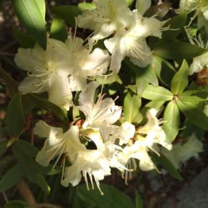 ヒカゲツツジ 一枝の花満開