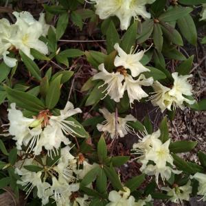 ヒカゲツツジ 花盛り