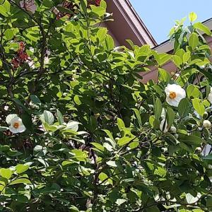 ナツツバキ 開花