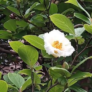 ナツツバキ 最後の花
