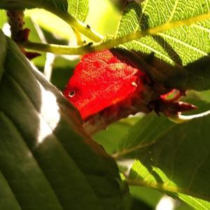 河津桜 一部の葉が紅葉